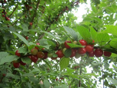 Садовые плодовые кустарники фото и название