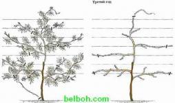 Глициния выращивание размножение 41