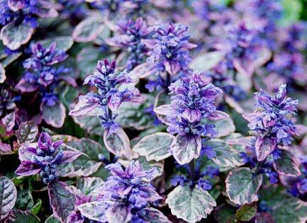 Цветок живучка и описание