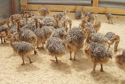 Разведение страусов в домашних условиях Универсальный портал