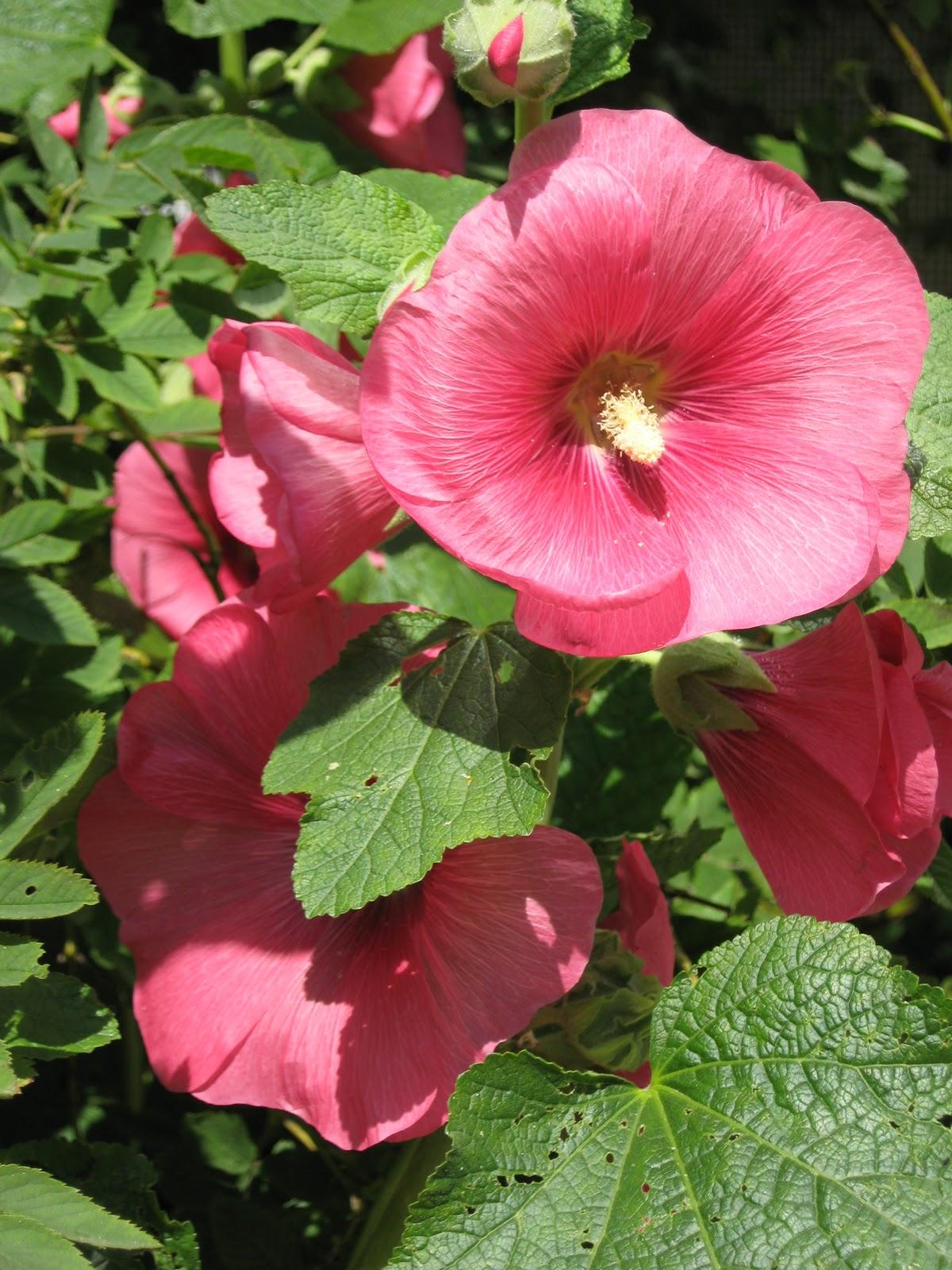 Многолетние цветы фото мальвы