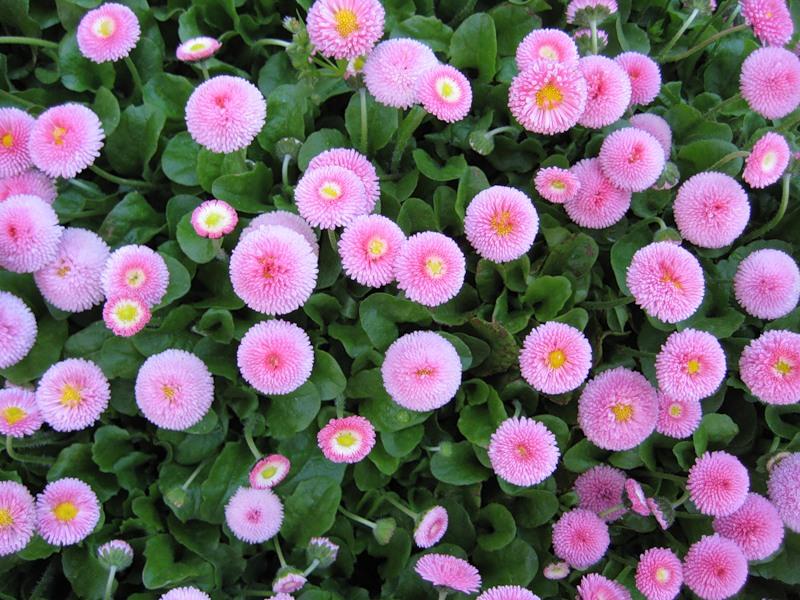 Цифру, посмотреть изображение цветок маргаритка - порка розга рисун