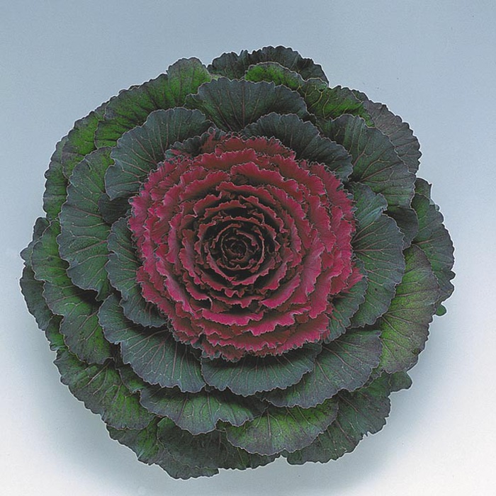 декоративная капуста токио
