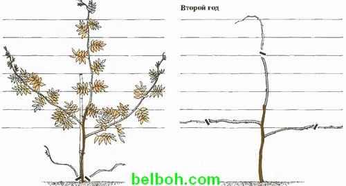Глициния выращивание размножение 60